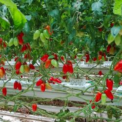 Tomato Master Case Study Report