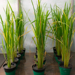 Effect On Germination and Growing Of Rice Seed